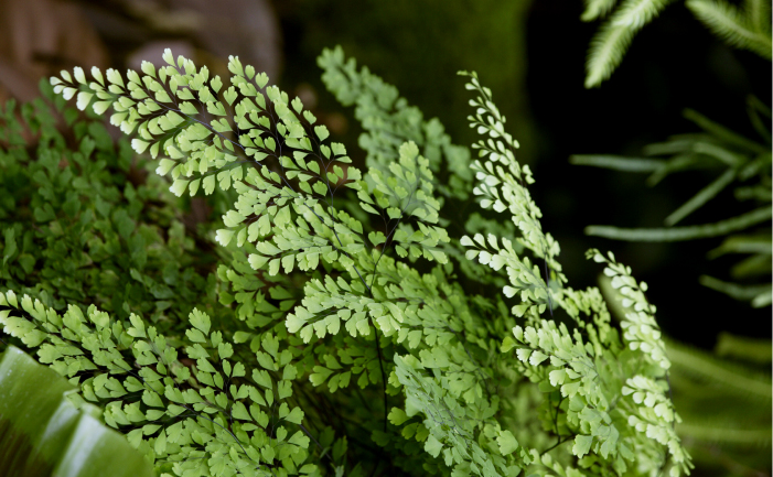 Maidenhair fern burke s backyard