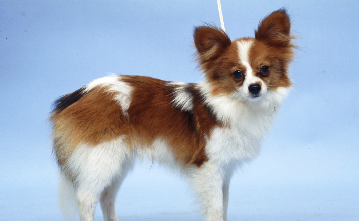 Funny Papillon Dog Pictures