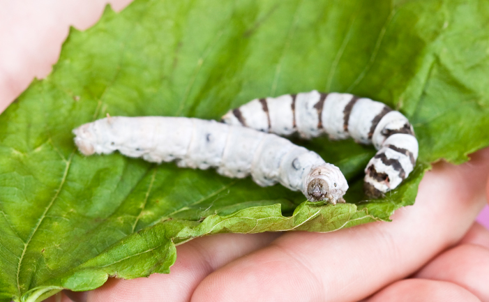Two silk worms