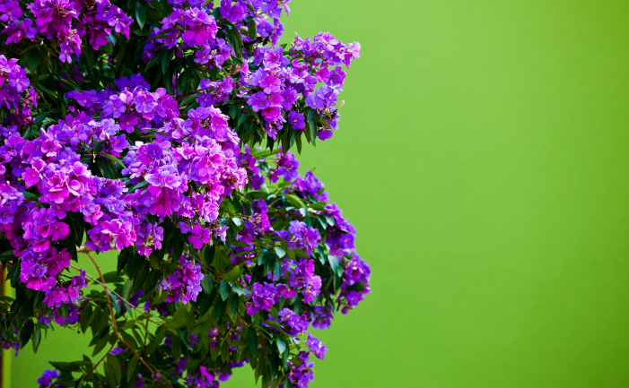 Tibouchina bush