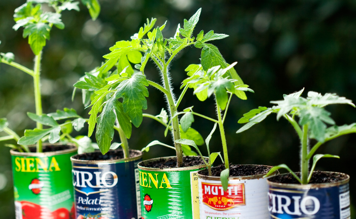Growing Tomatoes - seedlings