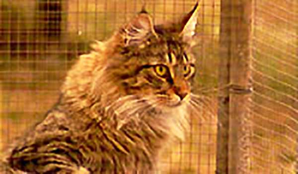 Maine Coon Cat Pet Road Test Burke S Backyard