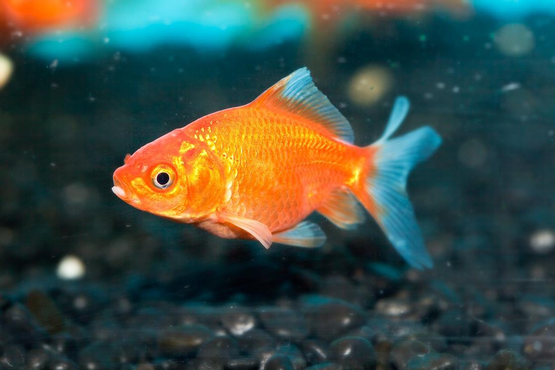 Don S Tips Goldfish Burke S Backyard