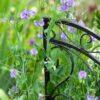 sweet pea plant