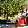 fertilising citrus
