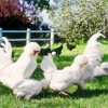 smaller chooks