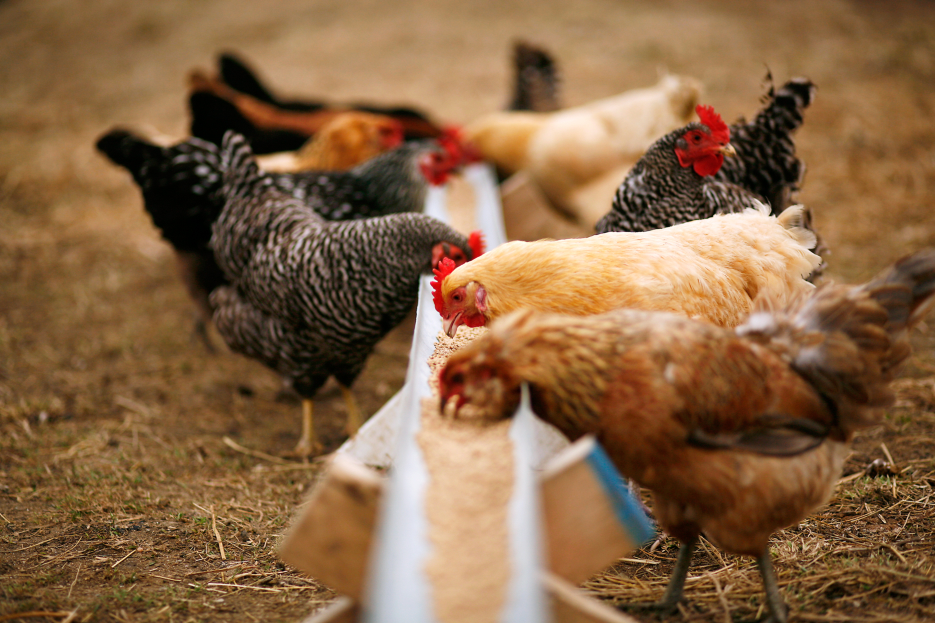 Cat Food For Laying Hens