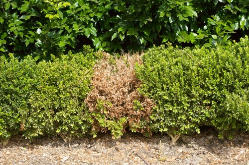 Don's Tips: Patchy Hedge