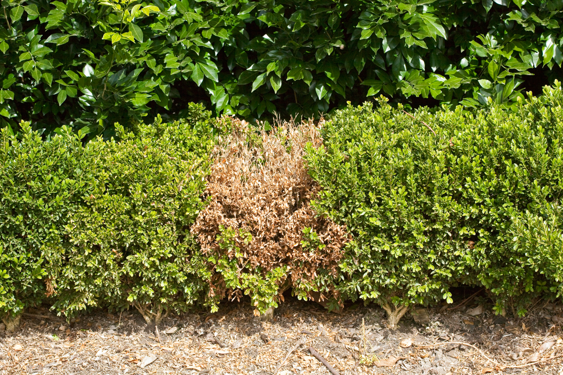 Don S Tips Patchy Hedge Burke S Backyard