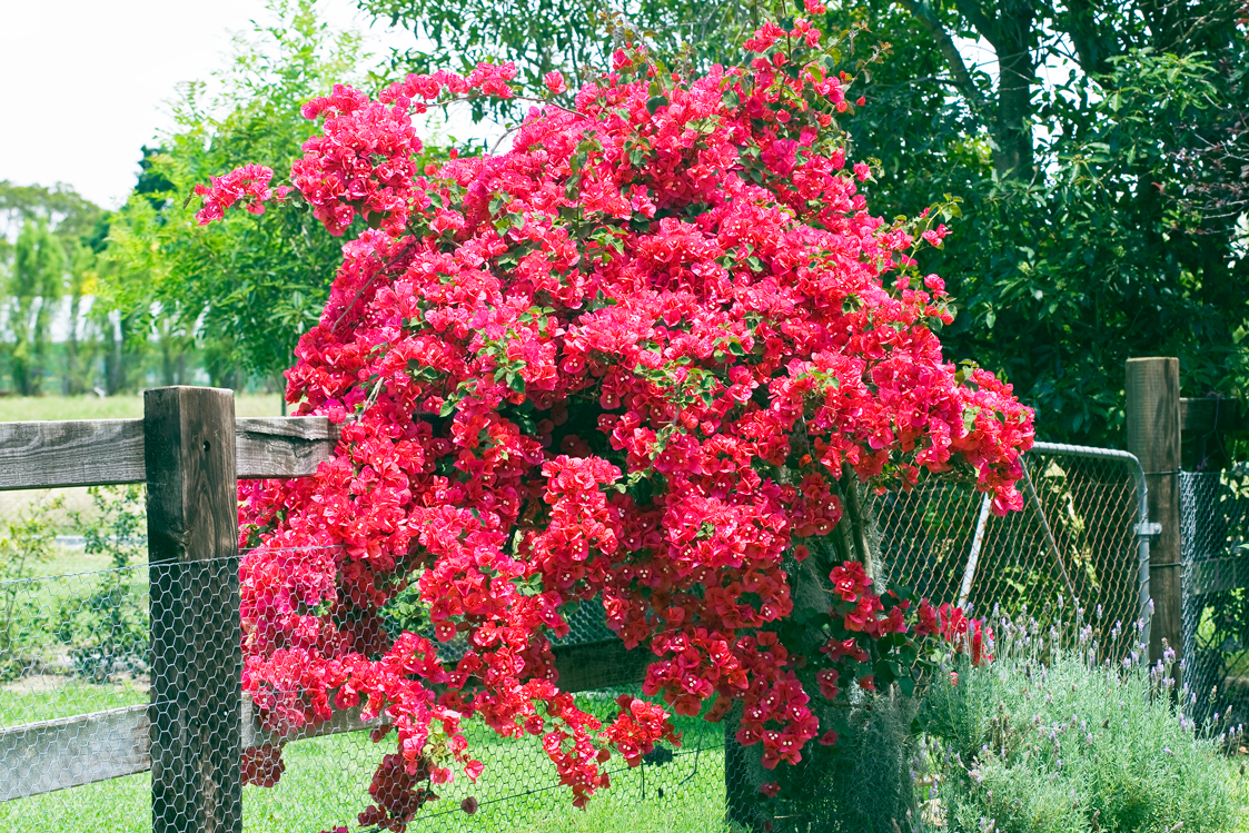 Bougainvillea Burke S Backyard