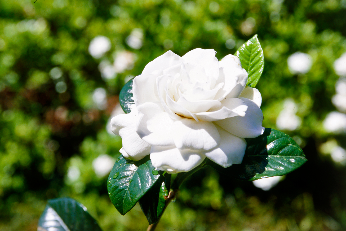 don u0027s tips gardenias burke u0027s backyard