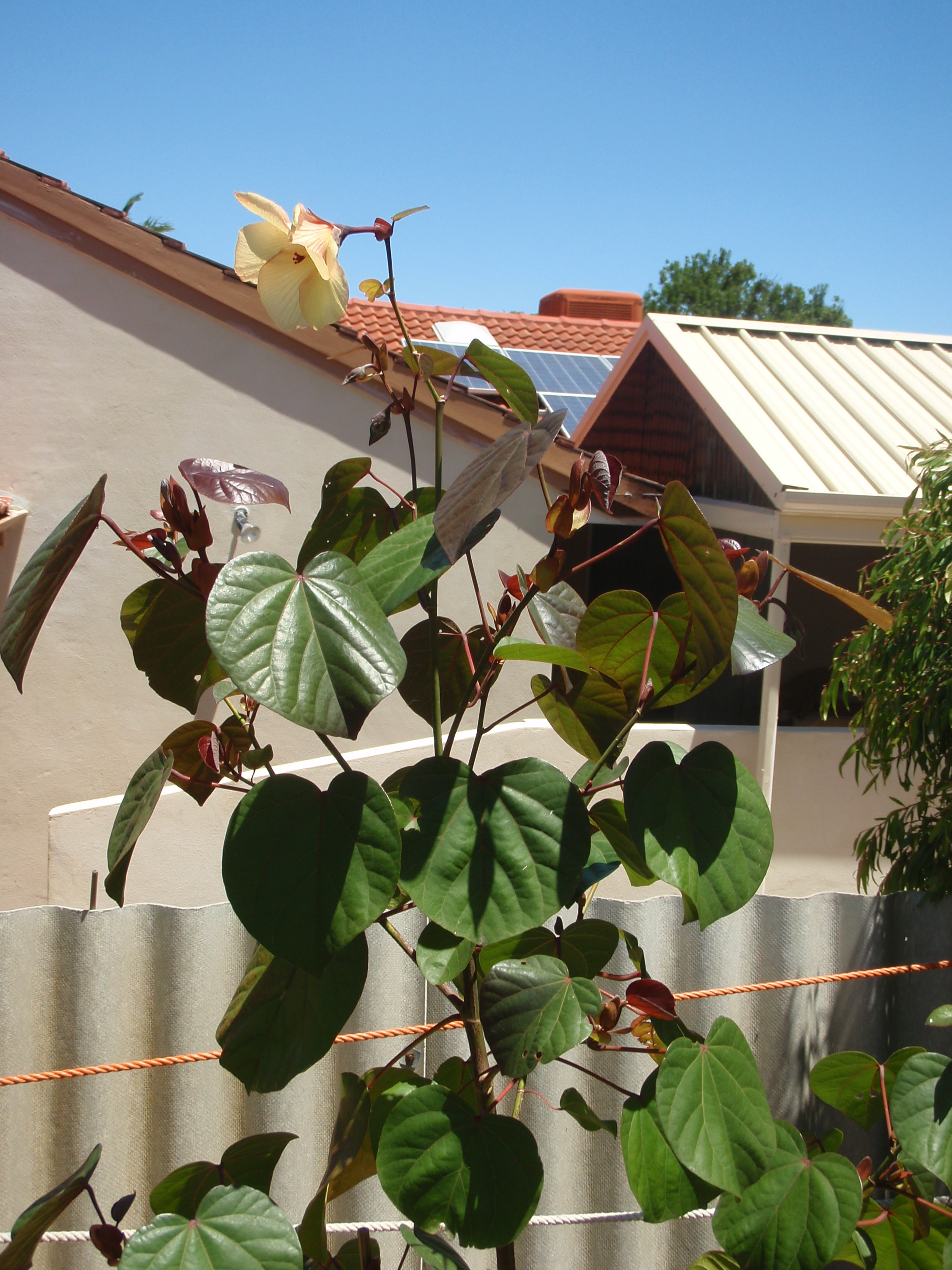 Ive Just Planted Three 2 Meter Native Hibiscus Cottonwood The