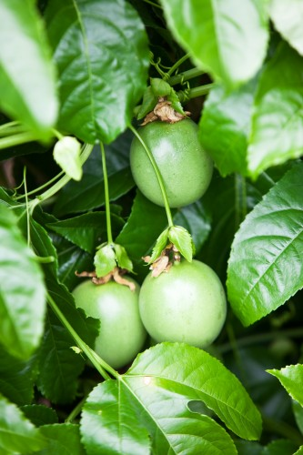 Don's Tips: How to grow Passionfruit