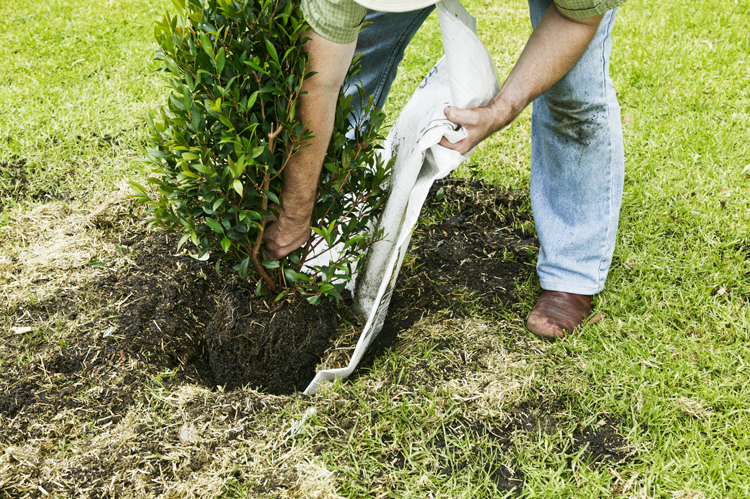 Don's Tips: Transplanting Large Shrubs and Trees