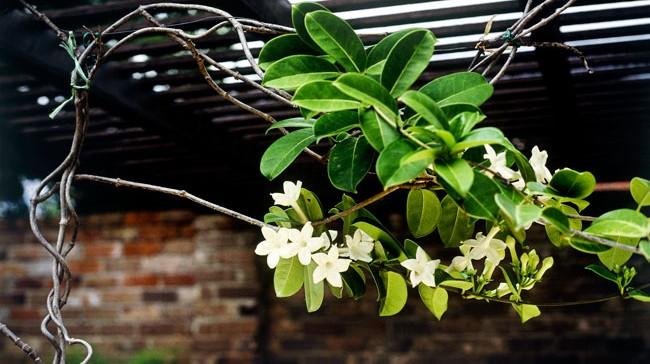 Best climbing plants burkes backyard mightylinksfo Gallery