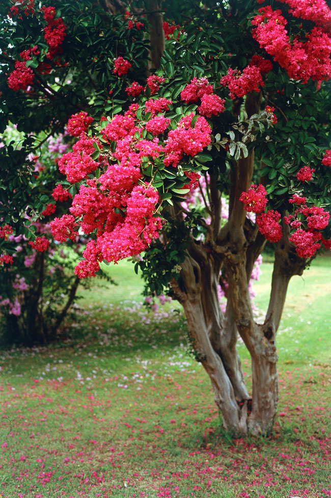 Crepe myrtle burkes backyard mightylinksfo