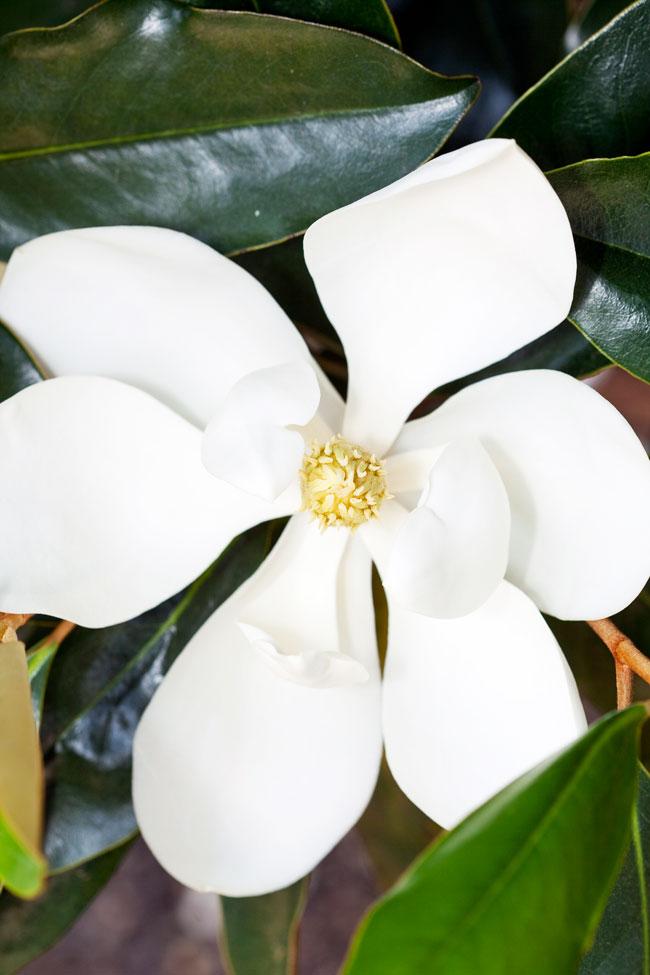 Magnolia Little Gem Burkes Backyard