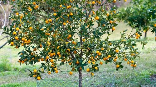 best backyard citrus care burkes backyard