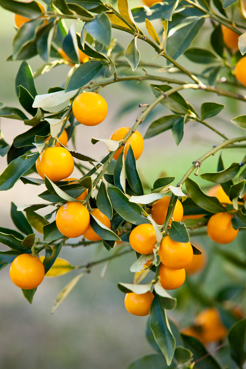 nagami kumquat fortunella margarita