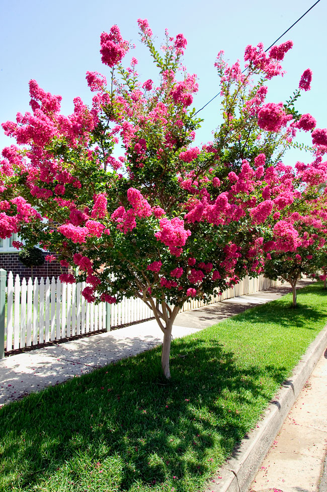 Crepe myrtle burke 39 s backyard for Popular small trees