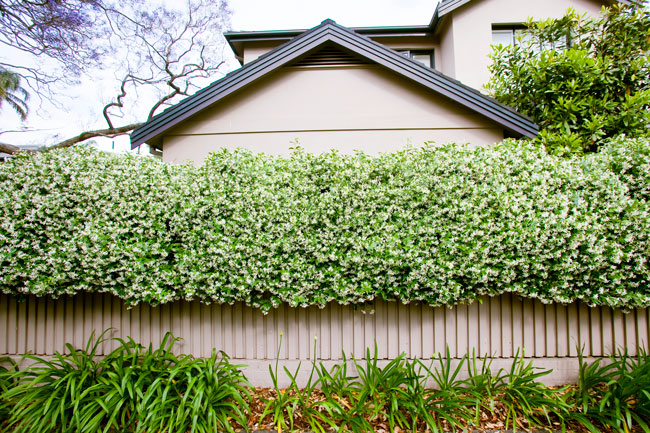 Best climbing plants burke 39 s backyard for Evergreen climbing plants for privacy