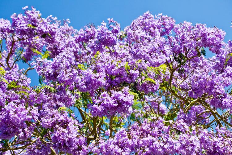 Jacaranda Trees - Burke's Backyard