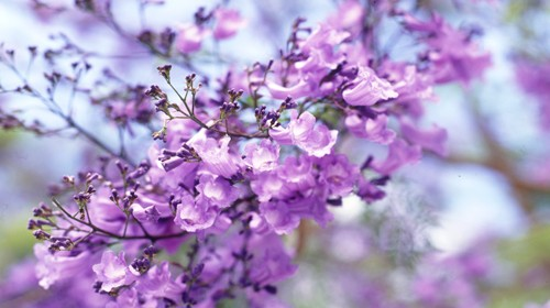 Close up of Jacaranda petals in full bloom