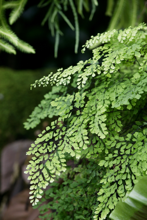 maidenhair fern burke 39 s backyard