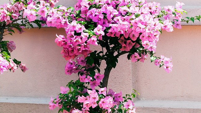 Best Climbing Plants - Burke's Backyard on vine plant red flowers, vine plants identification, vine mandevilla plant care, vine plant purple flowers, vine plant with berries, puncture vine with pink flowers, weeds with pink flowers, vine with small pink flowers,