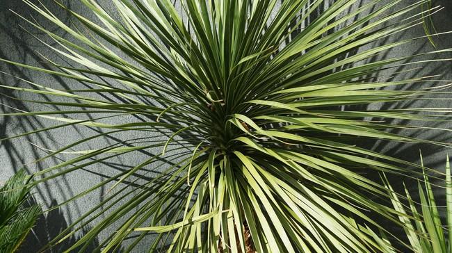 ponytail plant