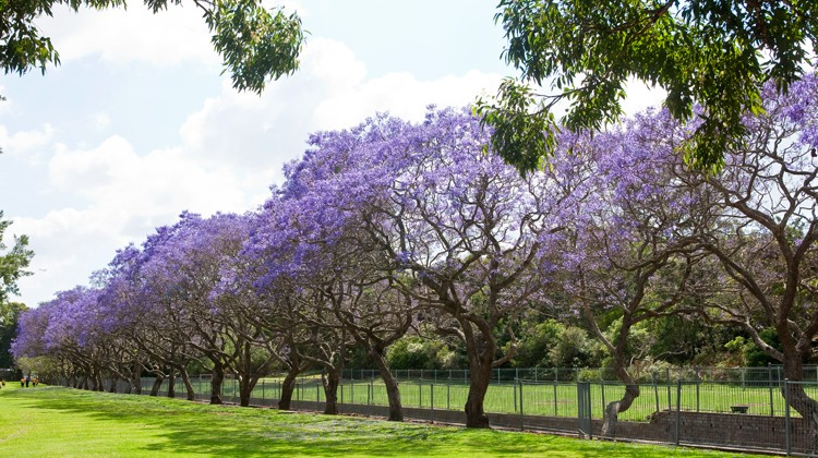 Image of a row of jacaranda trees