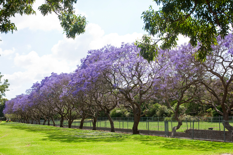 Jacaranda Trees - Burke's Backyard