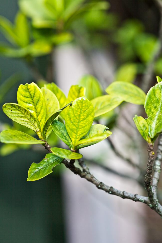 Backyard Garden Fruits : Don s tips yellowing gardenias burke backyard