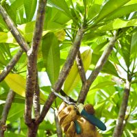 Don's Expert Answers: Frangipani trunks have black soot