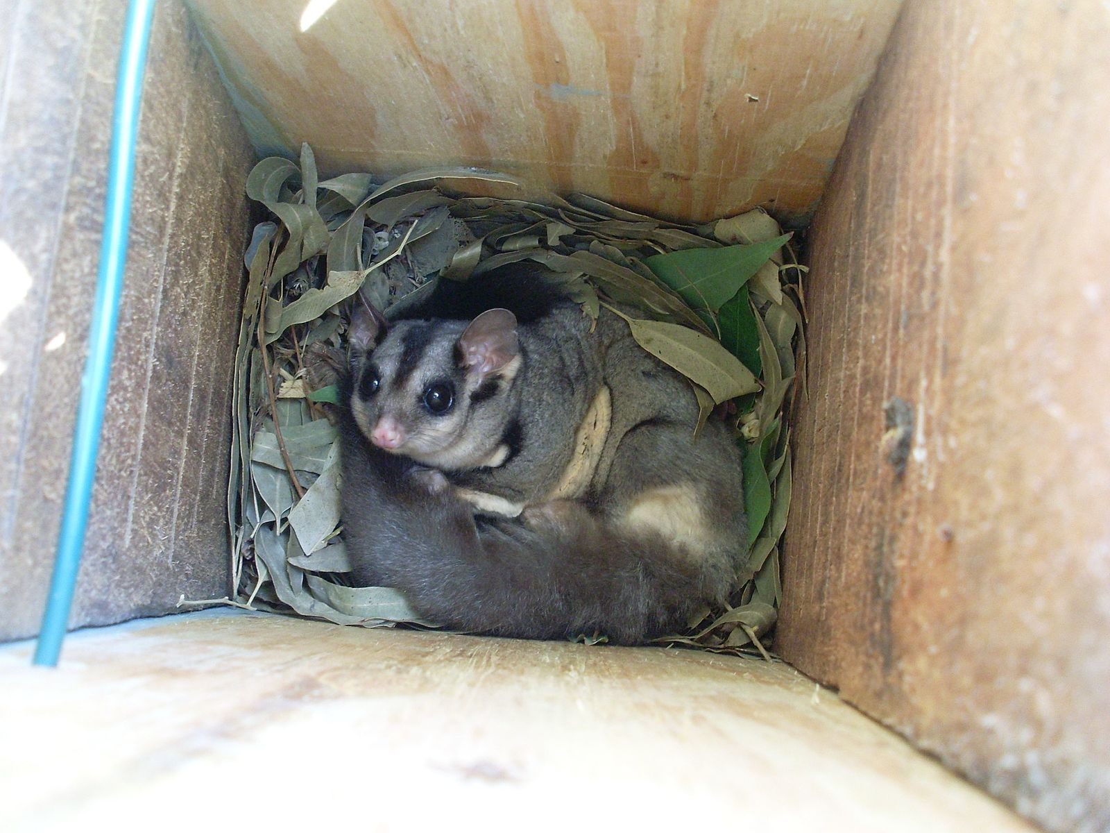 By Brisbane City Council (Squirrel Gliders in Nestbox  Uploaded by russavia) [CC BY 2.0 (http://creativecommons.org/licenses/by/2.0)], via Wikimedia Commons