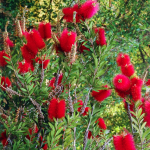 Don's Tips: Bottlebrushes