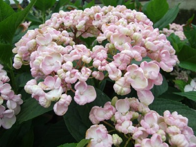 Trying To Track Down Rare Hydrangea