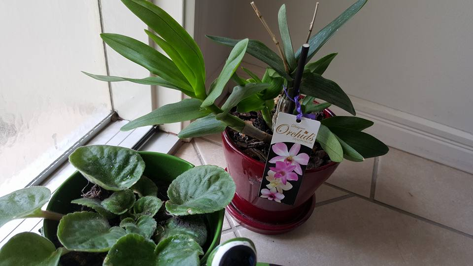 Don's Expert Answers:  My dendrobium orchid has not flowered..It was in flower when it was given to me for mother's day 2015 ..also, what is the best way to removed the dead twiggy stems after flowering..it still has 2 [see photo ]