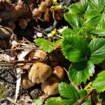 Don's Expert Answers: Second mushroom variety growing in strawberry patch