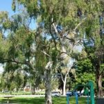 Don's Expert Answers: Looking for name of gum tree species