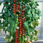 Don's Expert Answers: Just seen a Rapunzel Tomato vine on Pinterest- are these available in Australia?