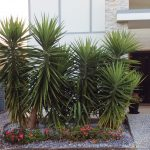 Don's Expert Answers: Your opinion – is it possible the bulb roots of these Yuccas can cause damage to the step behind them and the underground pipe