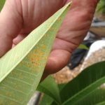 Don's Expert Answers: New leaves turned black after spot spraying with EcoPest oil shortly after spraying with Mancozeb