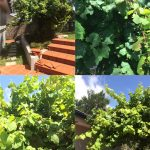 Don's Expert Answers: We have a grapevine planted by a previous owner. It produces tiny green grape like bunches (5-10mm), but these disappear and we do not get any fruit?