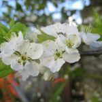 Don's Expert Answers: Unable to transplant an established plum blossom tree.