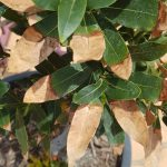 Don's Expert Answers: Bay tree with the leaves dying very slowly from tip to base of leaf