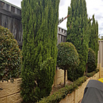 Don's Expert Answers: Pencil Pine has been growing inside a retaining wall made of concrete Twinside for the past 15 years. Wondering if there will be any problems with the root systems breaking the retaining or lifting brickwork. We have had no problems thus far.