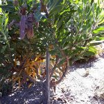 Don's Expert Answers: Leaves on Protea are going yellow and brown