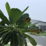 Don's Expert Answers: Frangipani leaves problem