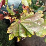 Don's Expert Answers: Young leaves curl and blacken, older leaves once grown appear chewed